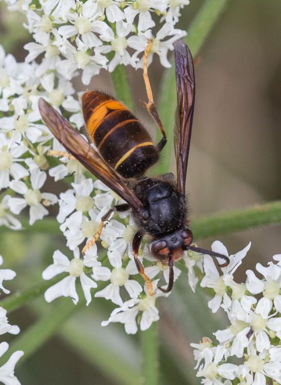 Asian Hornet (BWARS) (1).jpg